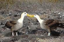 Słynny rytuał zalotów albatrosów falistych