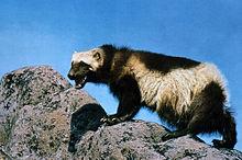 Wolverine op rotsachtig terrein