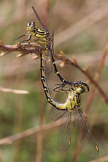 Pareja de cazadores de rayas amarillas que se aparean