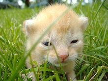 Een heel jong poesje. Dit kitten is uit het nest gehaald voor een foto; zijn oogjes zijn net open, maar hij kan nog niet goed zien.