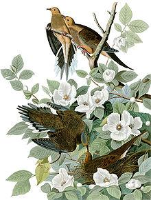 Illustratie van rouwduiven uit The Birds of America