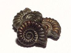 Drie kleine ammoniet fossielen, elk ongeveer 1,5 cm in doorsnee.