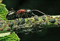Ein Beispiel für Symbiose: Die Ameise schützt die Blattläuse und erntet ihre zuckerhaltigen Ausscheidungen.