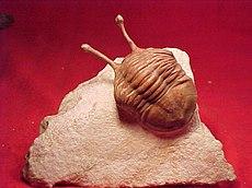 Een fossiel van een trilobiet die zo'n 444 miljoen jaar geleden leefde