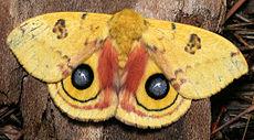 Ćma Automeris io pokazuje na swoich tylnych skrzydłach sygnał ostrzegawczy