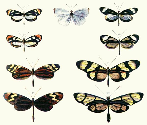 Pokazuje Batesian mimikrę między gatunkami Dismorphia (górny rząd, trzeci rząd) a różnymi Ithomiini (Nymphalidae) (drugi rząd, dolny rząd) Bates 1862