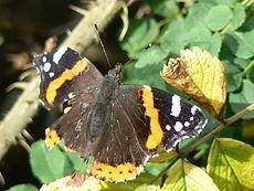 Obrażenia bojowe: skrzydło czerwonego admirała ucierpiało od ptasiego dzioba, ale motyl nadal latał.