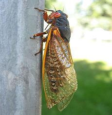 Cicala trovata a Chicago, Illinois, USA, giugno 2007