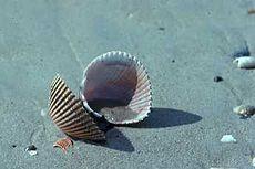 Lege kokkel schelp op het strand