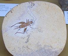 Fossiele sprinkhaan uit het vroegste Opper-Krijt, ~95 miljoen jaar geleden, Santana Formatie, Brazilië