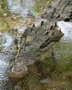 Amerykański krokodyl