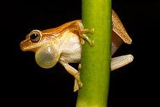 Een mannelijke Dendropsophus microcephalus: zijn vocale zak wordt gebruikt om te kwaken