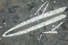 Didymograptus uit het Ordovicium.