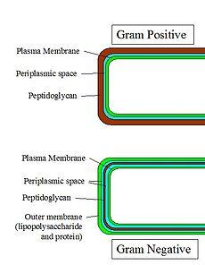 Schema van bacteriële celwanden