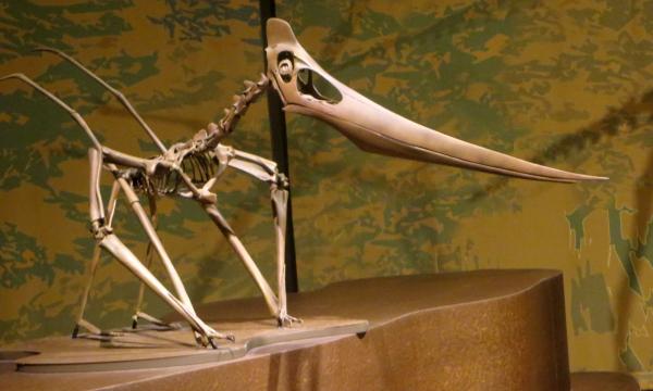 Pteranodon : ein berittenes Skelett aus Repliken der ursprünglichen fossilen Knochen. Der kleine Knochenkamm am hinteren Teil des Schädels weist darauf hin, dass dieses Skelett einer Frau gehörte.