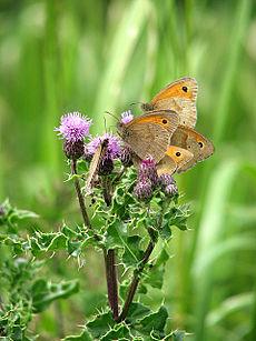 """Brązowy motyl łąkowy z rozproszonymi """"celami"""" na skrzydłach"""