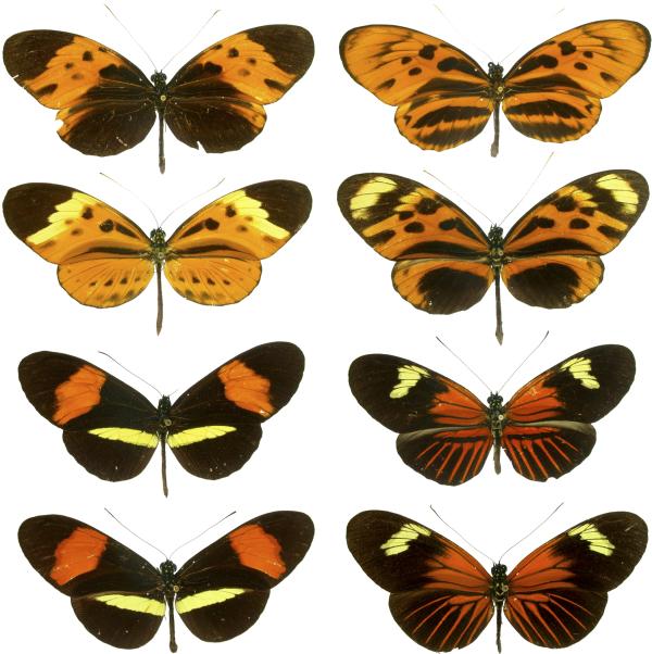 Motyle Heliconius z tropików półkuli zachodniej są klasycznymi mimikami mülleriańskimi.