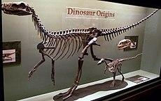 Die frühen Formen Herrerasaurus (groß), Eoraptor (klein) und ein Plateosaurus-Schädel