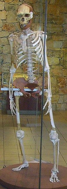 Rekonstruktion eines Exemplars aus Tautavel, Frankreich