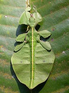 L'insetto fogliare Phyllium.