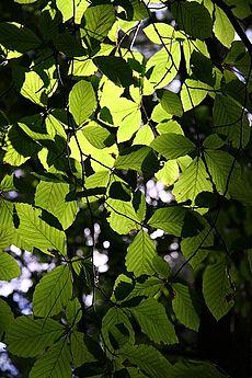 De bladeren van een beukenboom