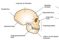 De Neanderthaler schedel verschilt in een aantal opzichten van onze schedels