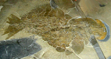アノマロカリスの 最初の完全な化石の発見