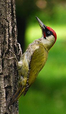 Dzięcioł zielony: zwróć uwagę na dziób, stopy i ogon
