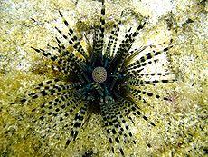 Echinothrix calamaris , jeżowiec z ogromnymi, pasmowymi kolcami. Kula, u góry, w środku, to jego odbyt.