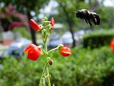 Bienen und Blumen entwickelten sich gemeinsam, so dass ihre Anpassungen zueinander passen: Ko-Evolution.