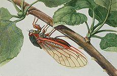 Una cicala di 17 anni, o Magicicada