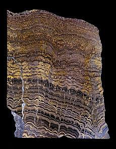 Lagere Proterozoïsche stromatolieten uit Bolivia, Zuid-Amerika. Deze werden geproduceerd door cyanobacteriën. Gepolijste verticale plak door rotsen