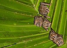 Eine Kolonie von Peters' zeltmachenden Fledermäusen (Uroderma bilobatum)