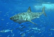 Ракетная форма этой акулы делает ее эффективным пловцом. Она быстра на коротких дистанциях.