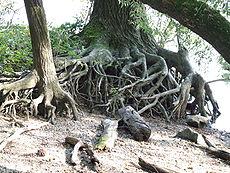 Freiliegende Wurzeln