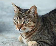 Die typische Tabby-Katze ist auf dem Rücken, dem Kopf und den Pfoten dunkel gestreift und auf dem Bauch weiß. Das ist Gegenschattierung, ein wichtiges Mittel zur Tarnung.
