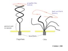 Różnica wzoru bicia bicza i rzęsek. Flagellum to ten po lewej stronie, rzęsy są po prawej.