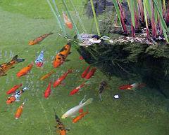 Кои (и золотые рыбки) веками хранились в декоративных прудах в Китае и Японии.