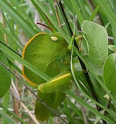 Kapuzenheuschrecke (Teratodus monticollis) ist in Form und Farbe getarnt