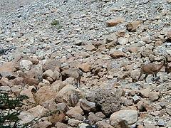 Getarnte Steinböcke in der israelischen Wüste