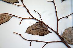Kallima inachus , der indische Blattfalter Zeigt das blattähnliche Aussehen der Flügelunterseite, die bei geschlossenen Flügeln sichtbar ist. Dies ist typisch für die ganze Gattung.
