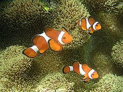 Clownfische sind zunächst männlich; der größte Fisch in einer Gruppe wird weiblich.