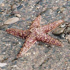 Zeesterren op het strand: ongeveer 25 cm groot.