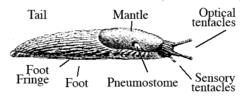 Lichaamsdelen van een naaktslak