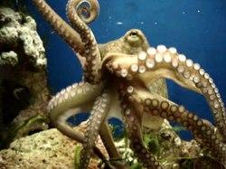 Media afspelen Bewegende Octopus vulgaris