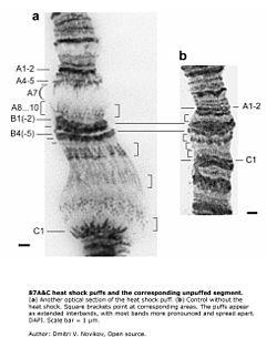 Drosphila melanogaster polytenové chromozomy. Ukazuje aktivitu chromozomů po tepelném šoku.