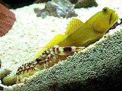 Blinde garnalen graven een hol, grondelvissen houden de wacht.