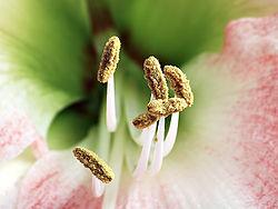 Staubblätter mit auffälligen Staubbeuteln, die Pollen tragen