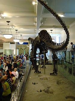 Glen Rose theropod en sauropod tracks, met gemonteerde Apatosaurus op de achtergrond, AMNH
