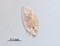 het tweede larvenstadium van een zeepok, de Cypris.